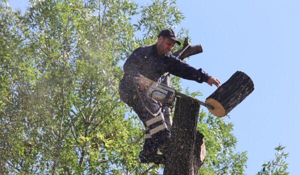 Toaletare copaci: Șoseaua principală va fi închisă circulației.